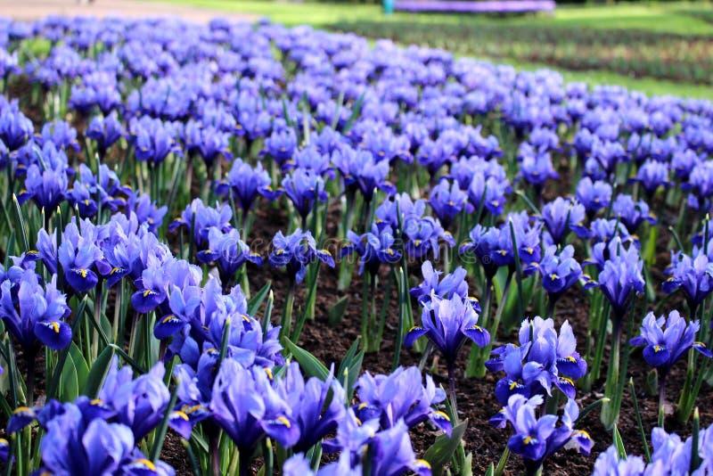 Blue irises field. In Keukenhof, spring royalty free stock image