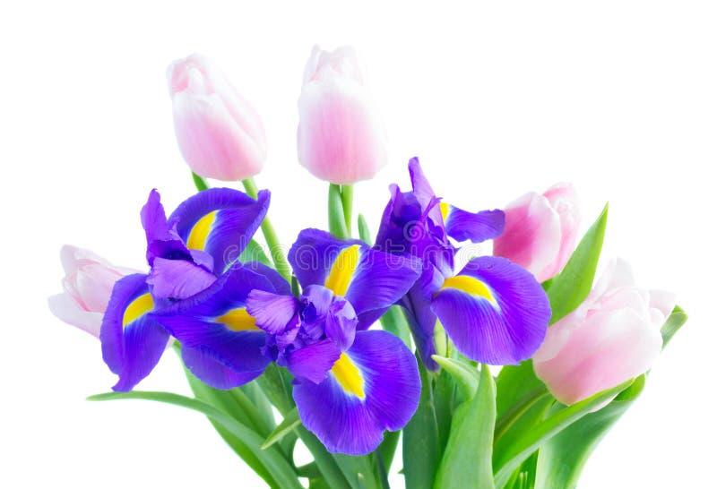 Blue irises and pik tulips. Posy of blue irises and pik tulips flowers close up isolated on white background stock photography