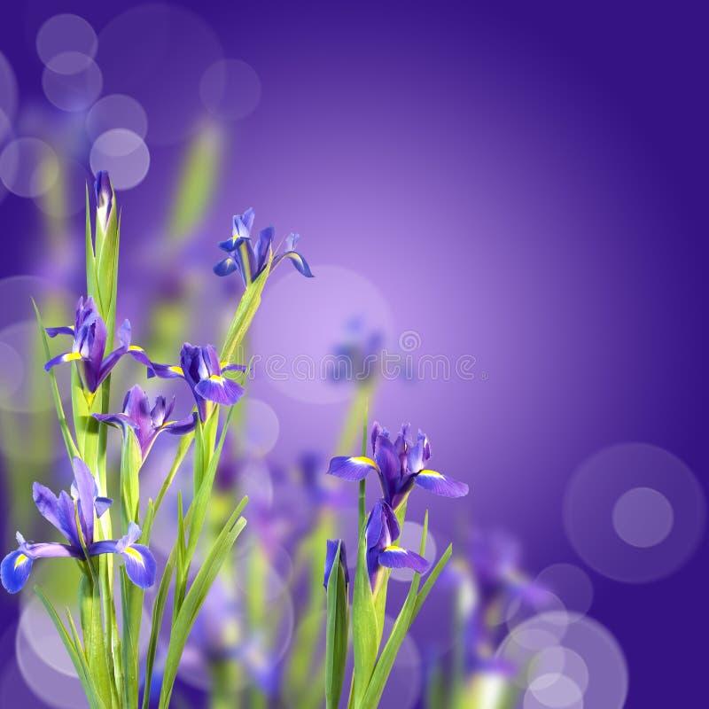 Blue irises, violet background. Blue irises on violet background with boh stock photos