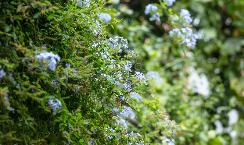 Blue jasmine with bright green leaves. Blooming plant in meadow. Blur nature background. Blue jasmin with bright green leaves. Blooming plant in meadow. Blurred royalty free stock image