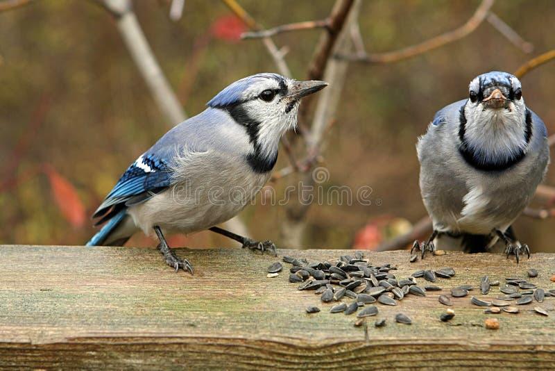 Blue-jay image libre de droits