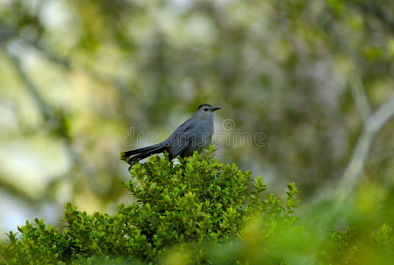 Download Blue Jay stock photo. Image of wildlife, forest, bluejay - 120050