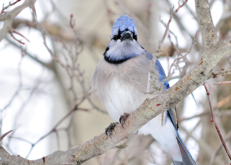Download Blue jay stock photo. Image of nature, outdoors, bird - 12765766