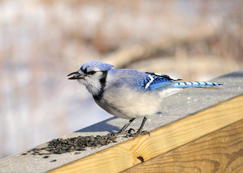 Download Blue jay stock photo. Image of nature, blue, perched - 13295118