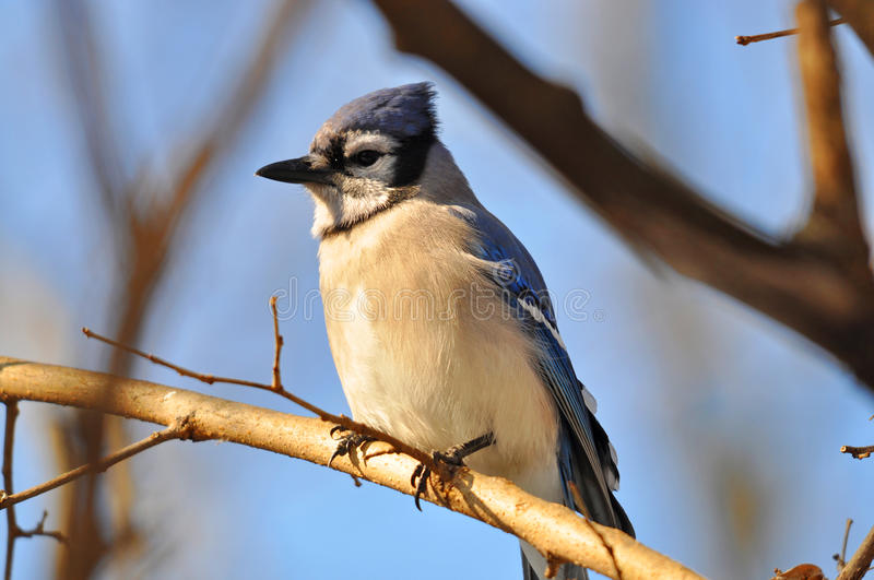 Download Blue Jay Stock Images - Image: 18114364