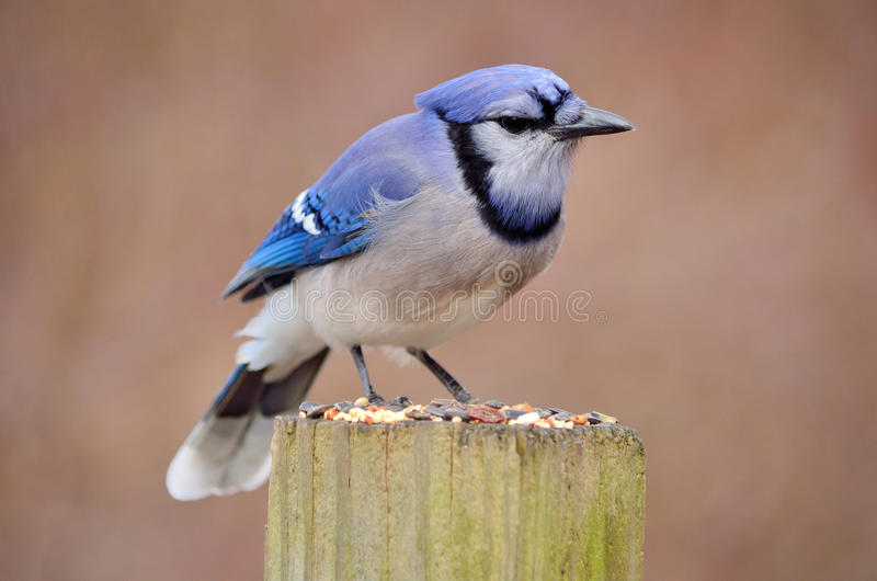 Download Blue jay stock photo. Image of nature, bird, birding - 23420916
