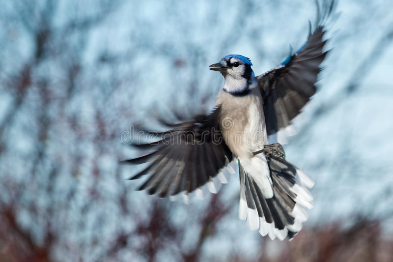 Blue Jay lizenzfreies stockfoto