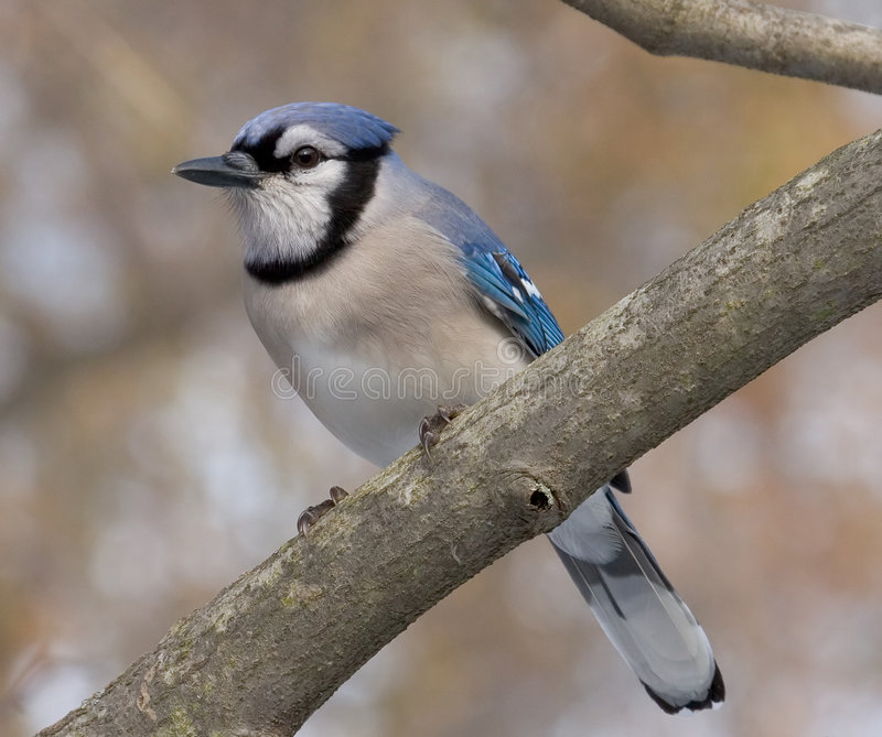 Download Blue Jay stock photo. Image of flight, branch, tree, perched - 501904