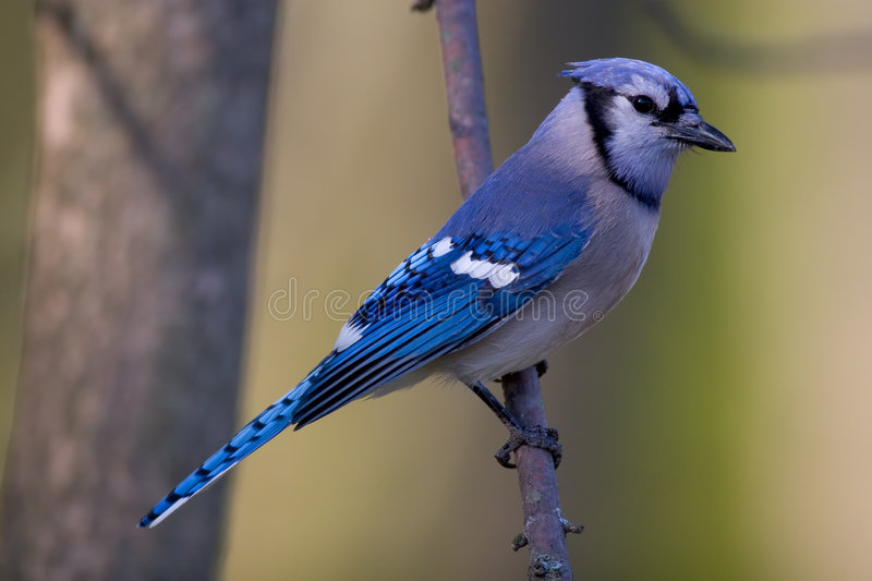 Blue Jay. Perched on a branch - Cyanocitta cristata