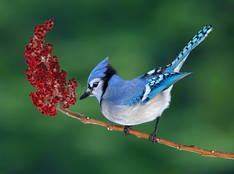 Blue Jay auf Sumac lizenzfreie stockfotografie