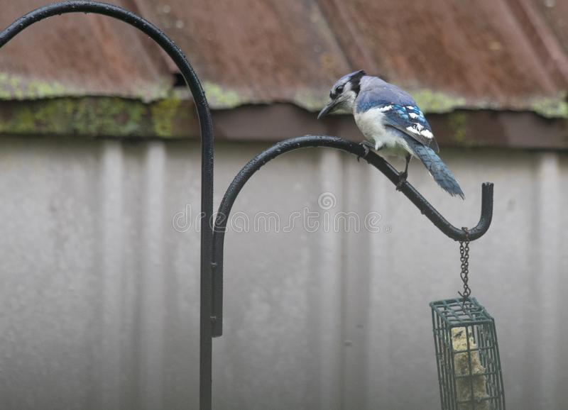 Blue Jay being curious at the feeder. BlueJay waiting to fed in a backyard bird sanctuary on a summer day royalty free stock photos