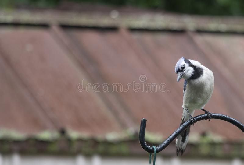 Blue Jay being a snob to others. BlueJay waiting to fed in a backyard bird sanctuary on a summer day stock images