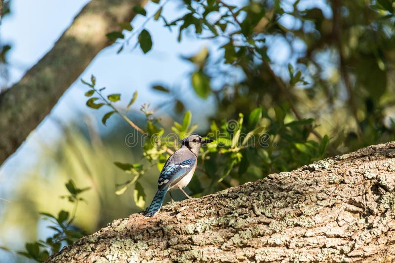 Blue jay bird Cyanocitta cristata perched in a tree. In Naples, Florida royalty free stock photography