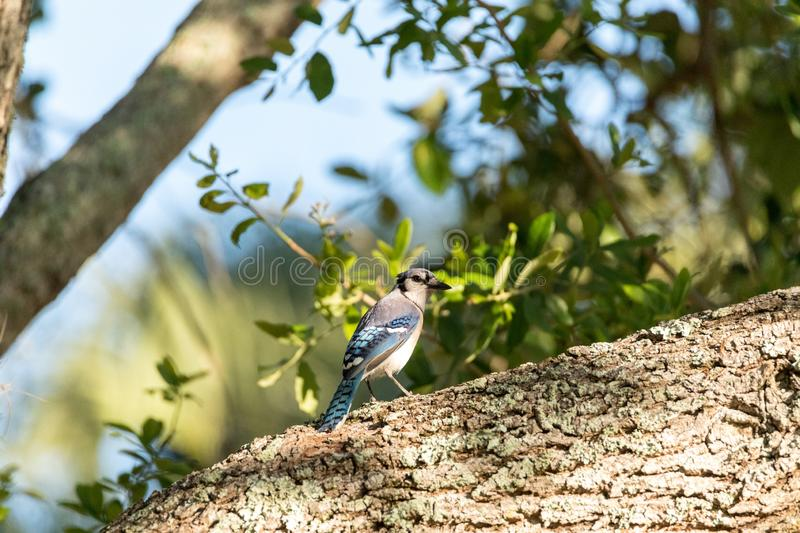 Blue jay bird Cyanocitta cristata perched in a tree. In Naples, Florida stock images