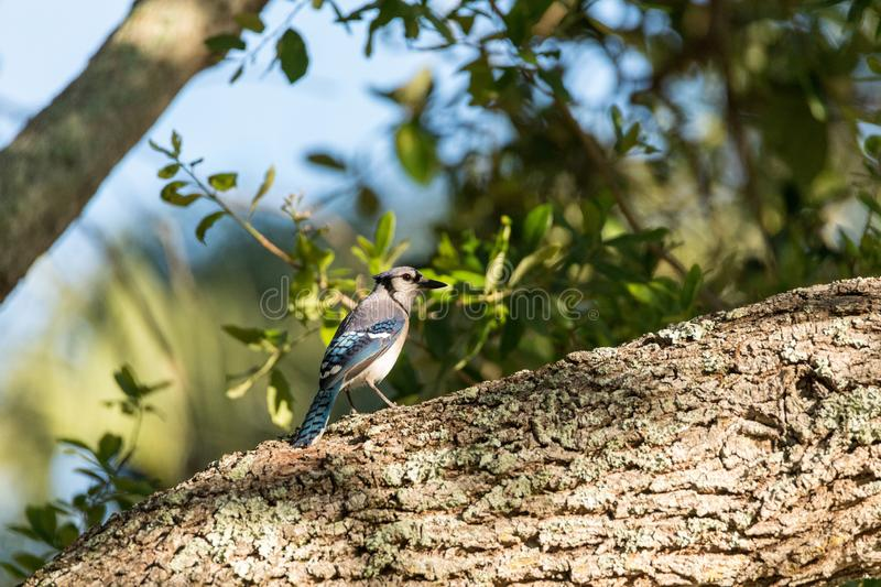 Blue jay bird Cyanocitta cristata perched in a tree. In Naples, Florida stock image