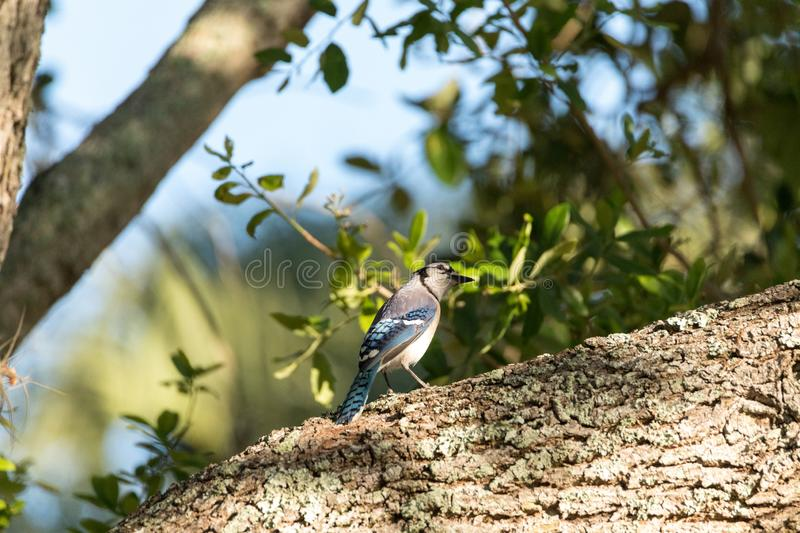Blue jay bird Cyanocitta cristata perched in a tree. In Naples, Florida royalty free stock photos
