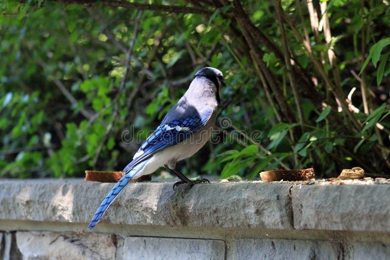 Blue Jay Bird stock image