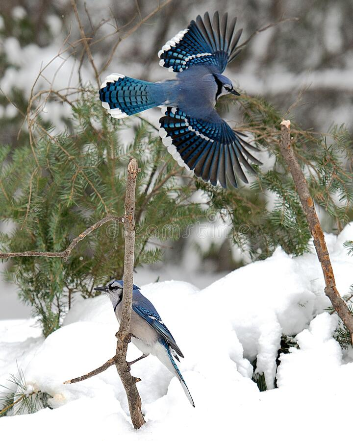 blue-jay-birds-enjoying-winter-season-one-bird-perched-other-bird-flying-above-spread-wings-their-wild-186058291.jpg