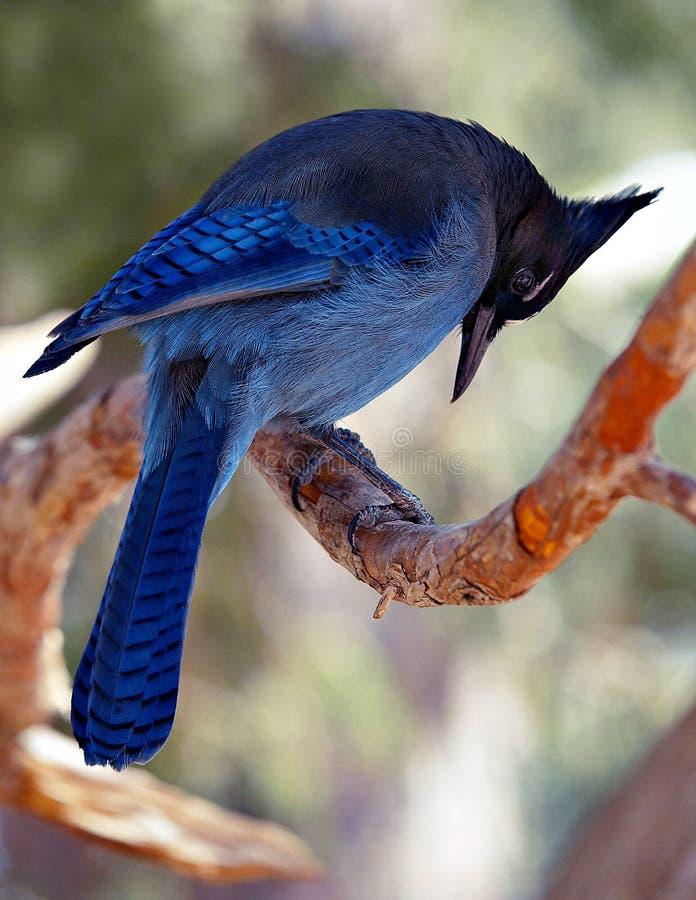 Blue Jay. At Bryce Canyon, Utah royalty free stock photo