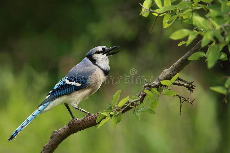 Blue Jay Calls. Blue Jays make a large variety of calls. The most often heard is a loud jeer, Also makes clear whistled notes and gurgling sounds. They stock images