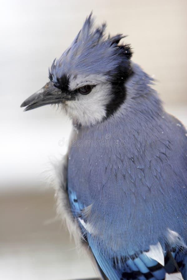 Blue Jay Closeup Stock Images