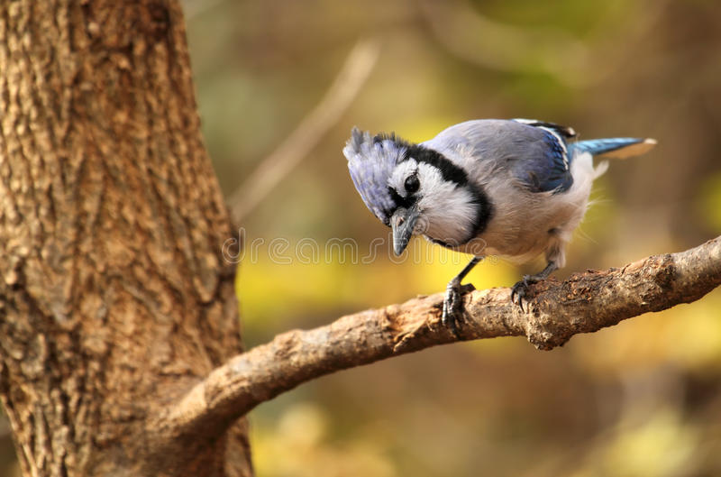 Blue Jay, Cyanocitta cristata. Perched on a tree branch with autumn colored background stock image