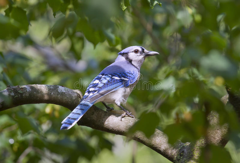 Blue Jay (Cyanocitta cristata). stock image