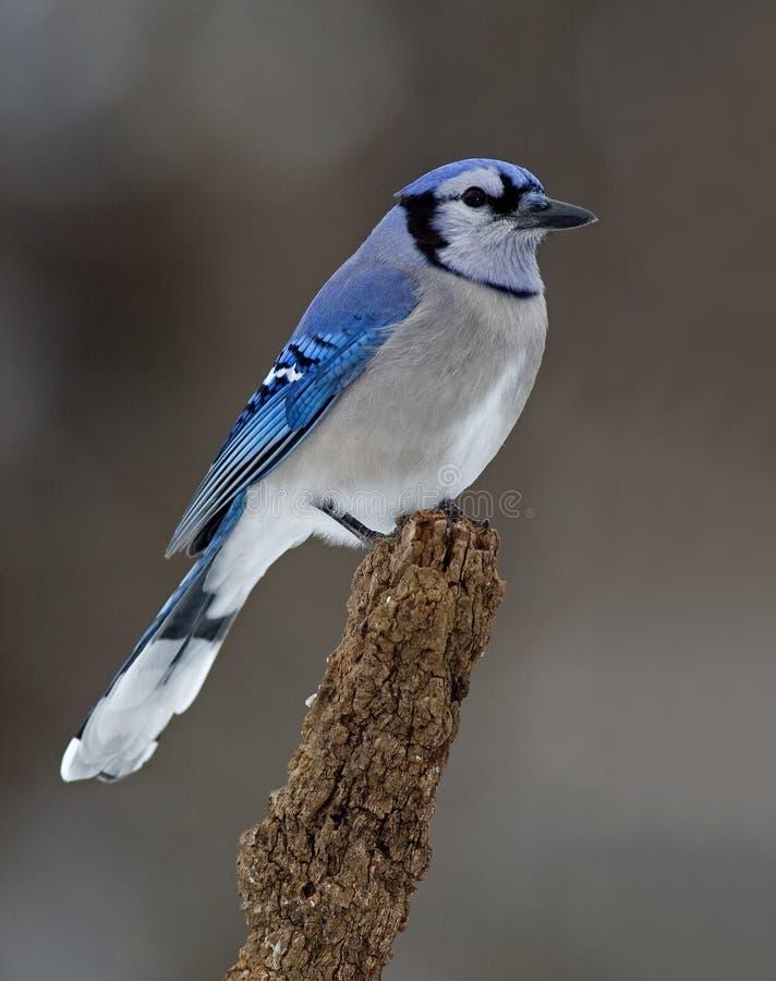 Download Blue Jay (Cyanocitta Cristata) Stock Photo - Image of songbird, wing: 25436864