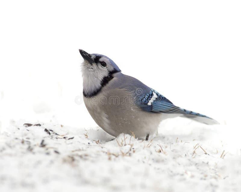 Download Blue Jay (Cyanocitta Cristata) Stock Photo - Image: 28882608