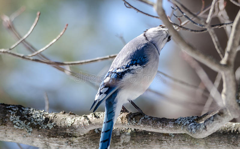 Blue Jay Cyanocitta cristata in early springtime, perched on a branch, observing and surveying his domain. stock image