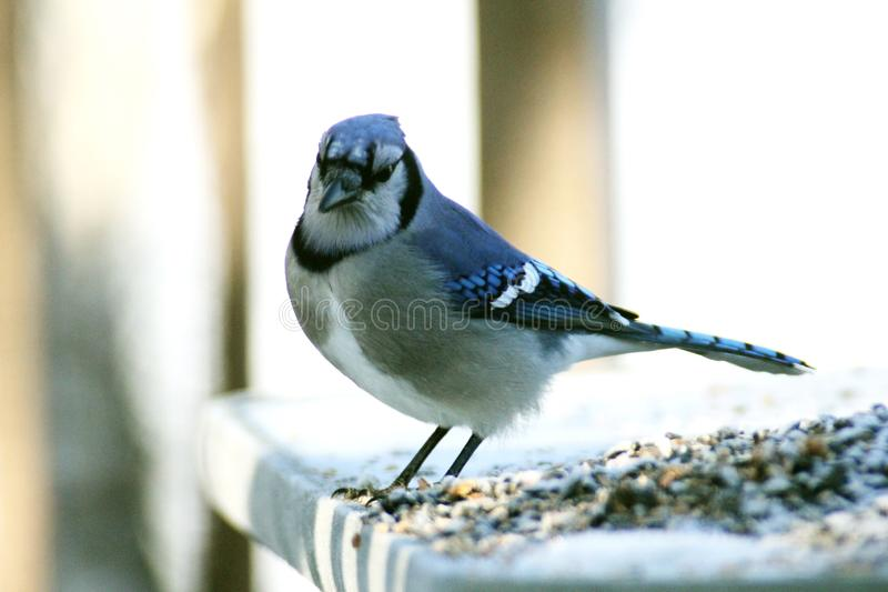Blue Jay feasting in the snow. The blue jay Cyanocitta cristata is a passerine bird in the family Corvidae, native to North America.It resides through most of stock photo