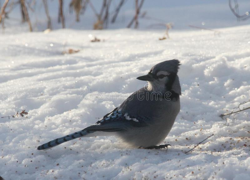 Blue Jay feasting in the snow. The blue jay Cyanocitta cristata is a passerine bird in the family Corvidae, native to North America.It resides through most of royalty free stock image