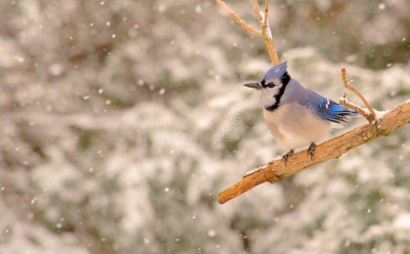Blue Jay in einem Schneesturm lizenzfreie stockfotos