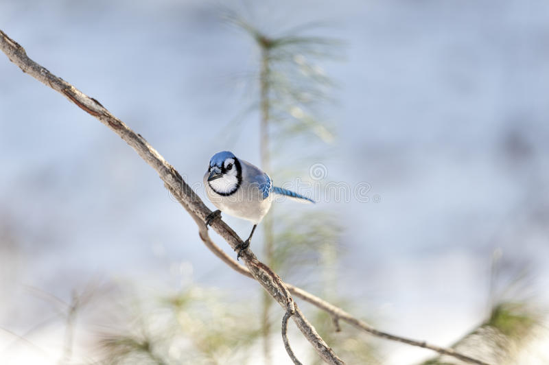 Blue Jay eye contact royalty free stock photos