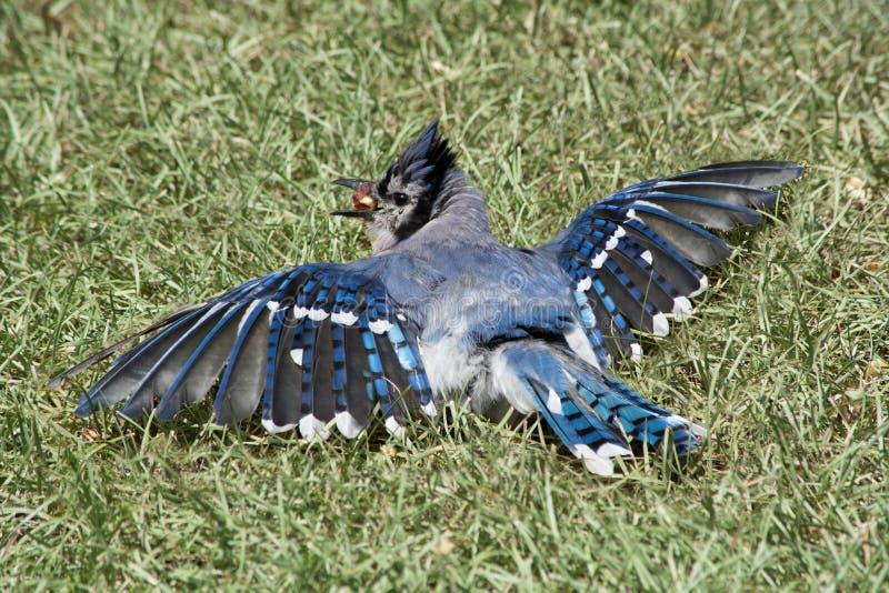 Blue Jay Feeding stock photography