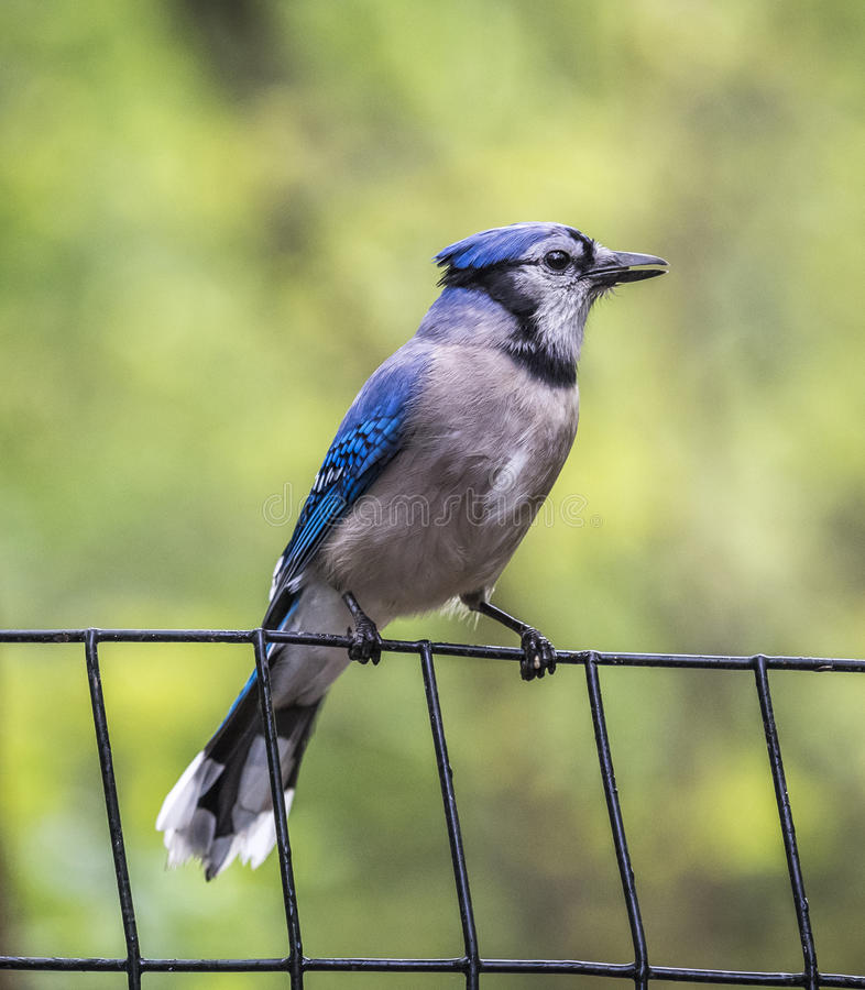 Blue Jay on the fence stock photography