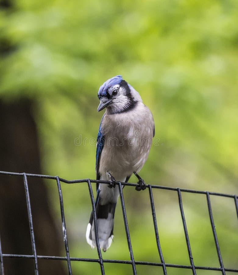Blue Jay on the fence stock photos