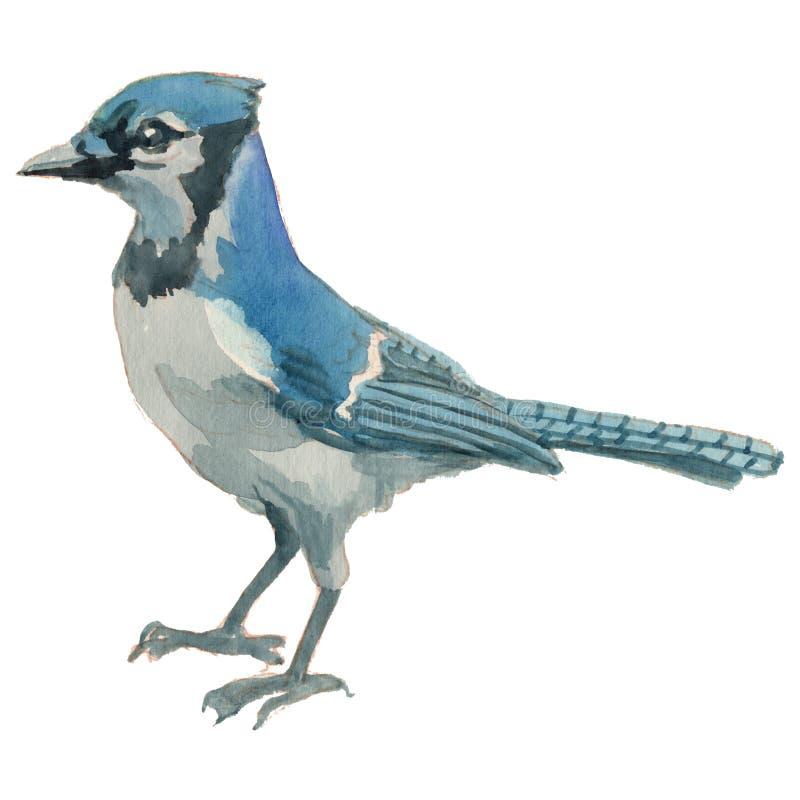 Blue Jay Handgemalte Zeichnung des Aquarells des Vogels lizenzfreie abbildung