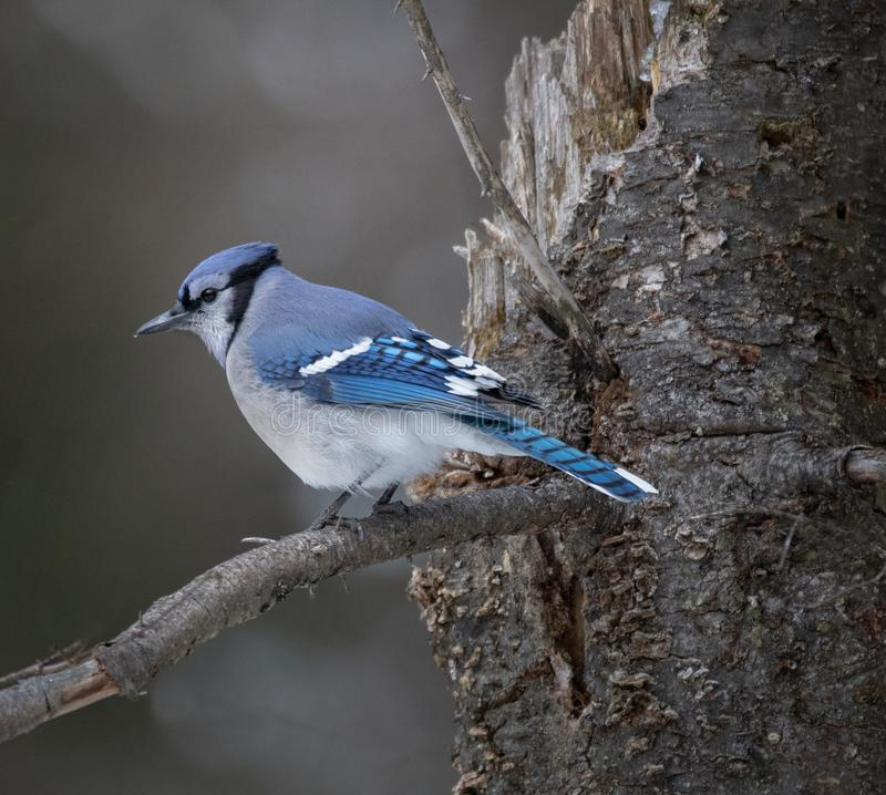 Blue Jay Hanging Out stock image