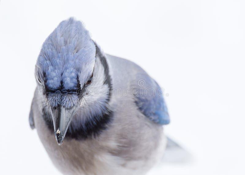Blue Jay Head Shot royalty free stock image