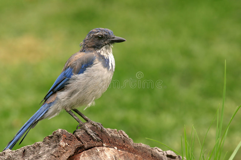 Blue Jay on a log royalty free stock photography