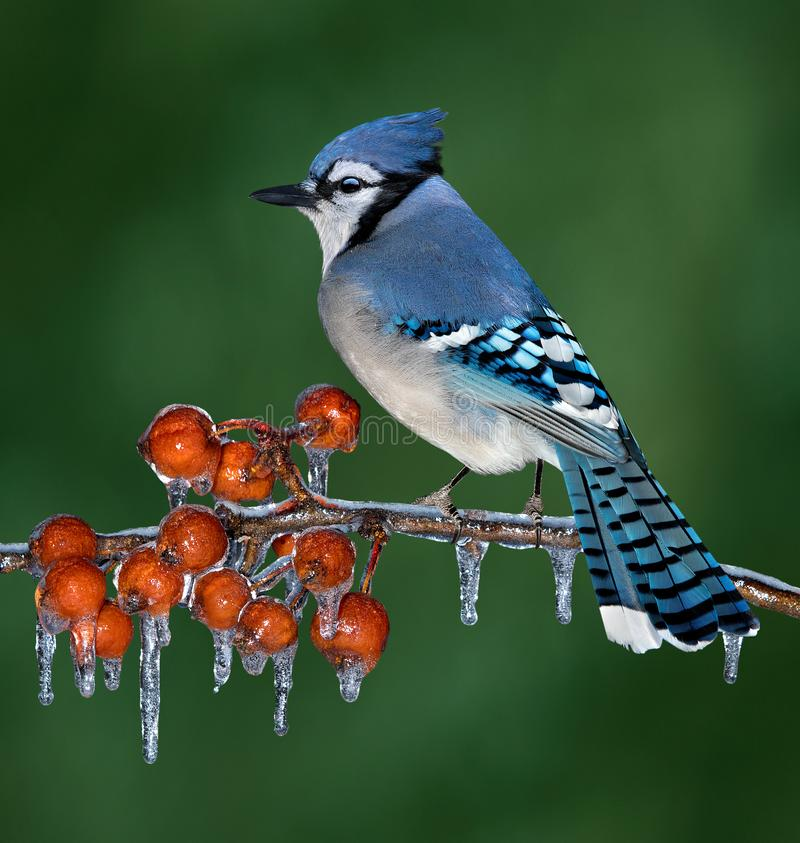 Free Blue Jay On Icy Branch Stock Photos - 145557993