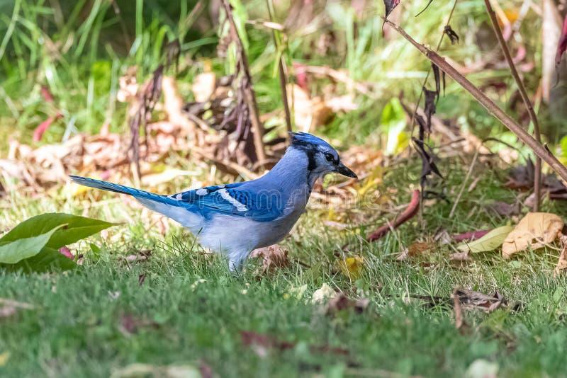 Blue Jay, pássaro azul em Quebec fotos de stock royalty free