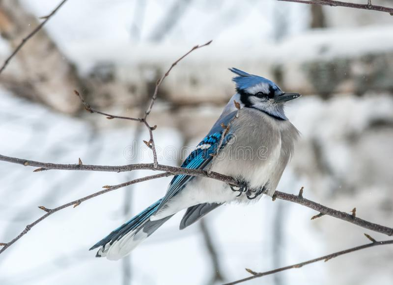 Blue Jay Perched in a Woody Area of Birch and Aspen, Quebec, Canada. Blue Jay Perched in a Woody Area of Birch and Aspen in Lamarche, Quebec, Canada stock images