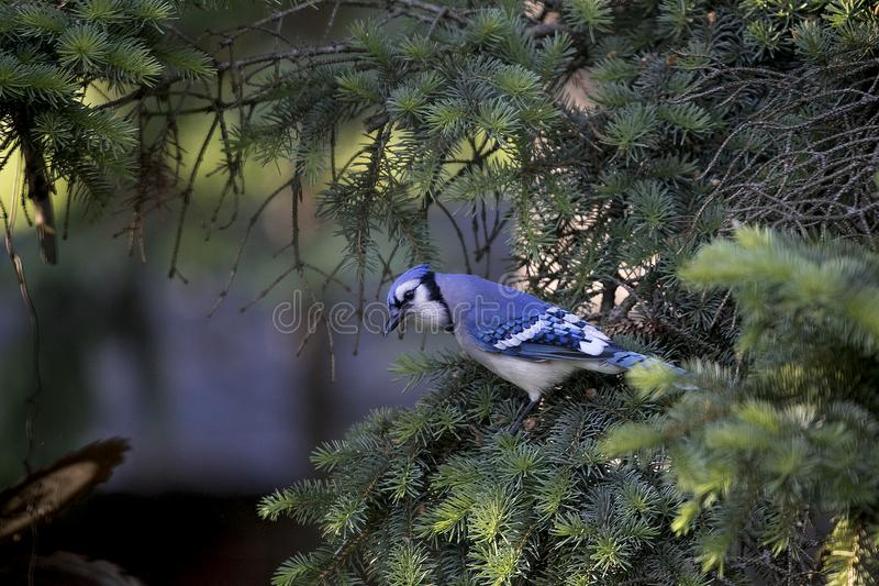 Blue Jay relaxing in a pine tree in Michigan. Blue jays are a common site in Michigan. This blue jay is taking a rest in a pine tree before getting a snack from royalty free stock photography