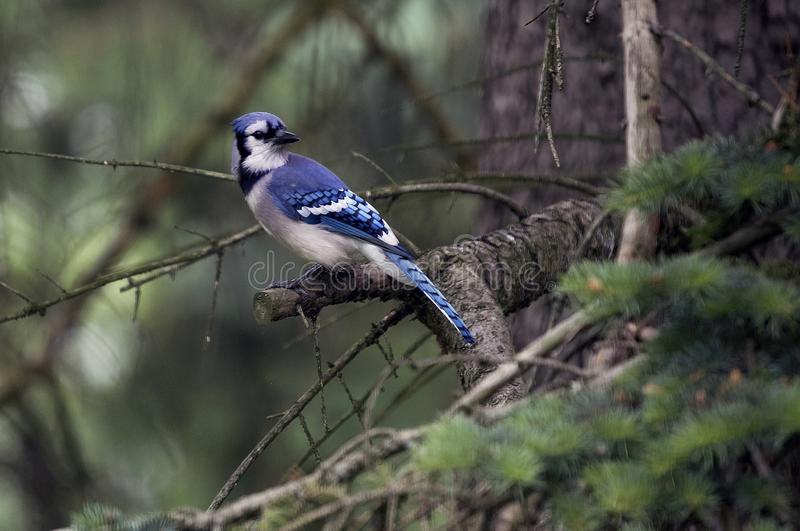 Blue Jay relaxing in a pine tree in Michigan. Blue jays are a common site in Michigan. This blue jay is taking a rest in a pine tree before getting a snack from stock photo