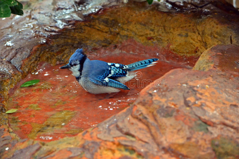 Blue Jay sitting in Water stock photography