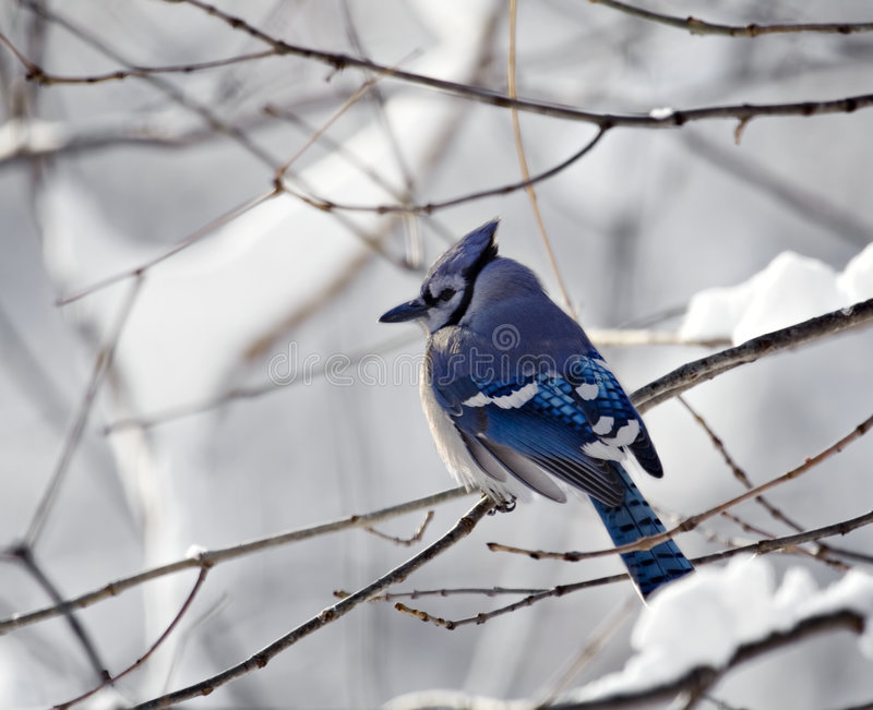 Blue Jay With Snowy Background royalty free stock images