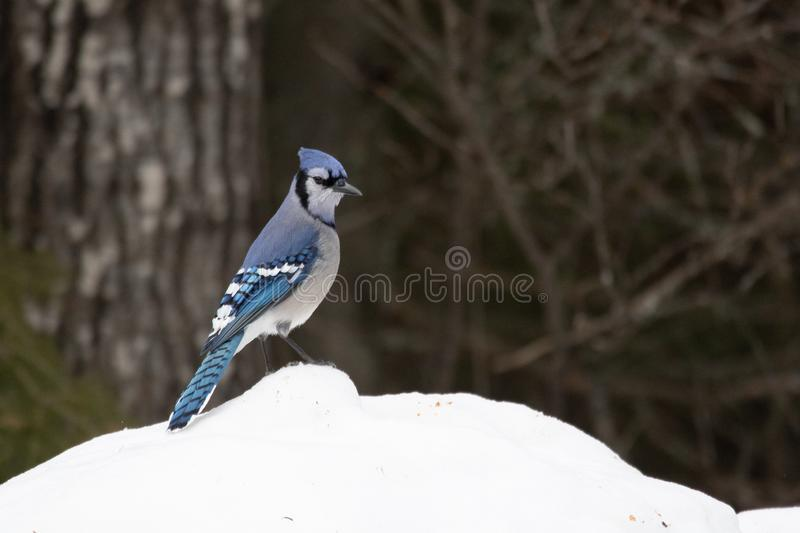 Blue Jay on a snowy hill royalty free stock image