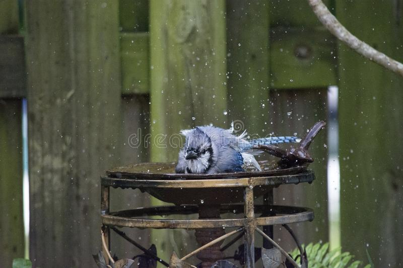 Blue Jay Taking a Bath and Splashing with Wet Feathers stock image